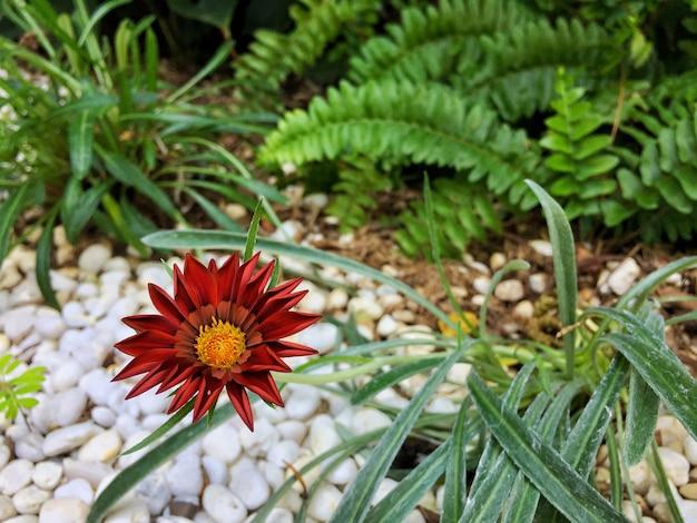 Perto da flor vermelha da margarida africana com folha verde e fundo de cascalho branco.