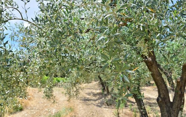 Perto da folha de uma oliveira crescendo em um pomar na frança provençal