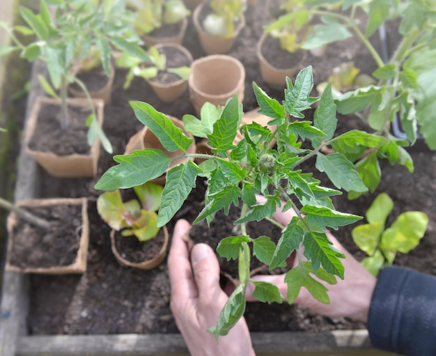 Perto da muda de tomate pronta para ser plantada segurando por um jardineiro no jardim