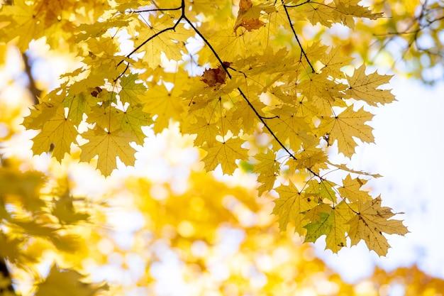 Perto das folhas de bordo amarelo e vermelho brilhante em galhos de árvores de outono com fundo desfocado vibrante no parque outono.