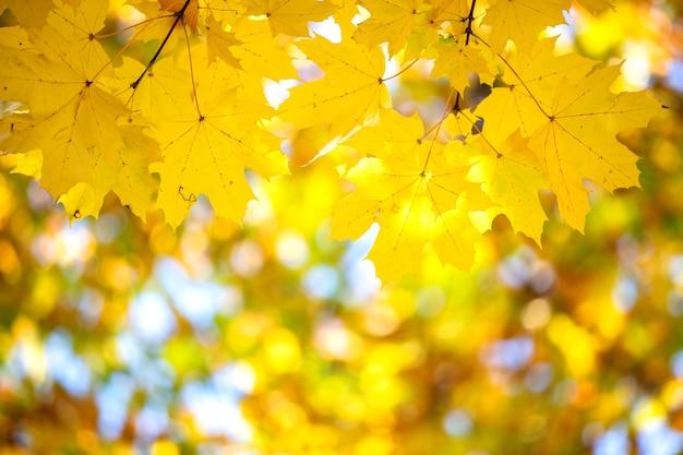 Perto das folhas de bordo amarelo e vermelho brilhante em galhos de árvores de outono com superfície borrada vibrante no parque outono.