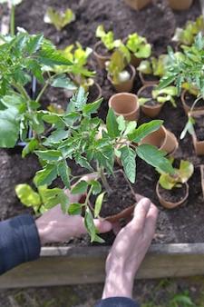Perto das mãos de um jardineiro segurando uma muda de tomate pronta para ser plantada no jardim