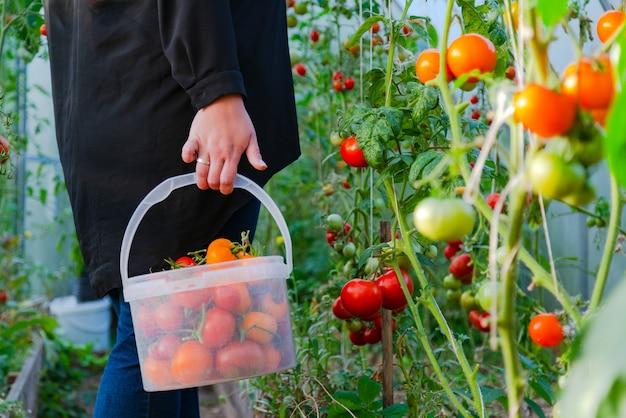 Perto das mãos do agricultor colhendo tomate vermelho na casa verde.