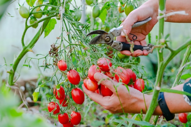 Perto das mãos do fazendeiro colhendo tomate vermelho na casa verde.