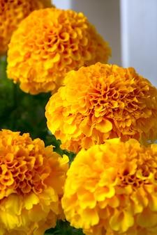 Perto de belas flores de calêndula, cores do outono.