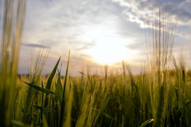 Perto de cabeças de trigo verdes crescendo em campos agrícolas na primavera.