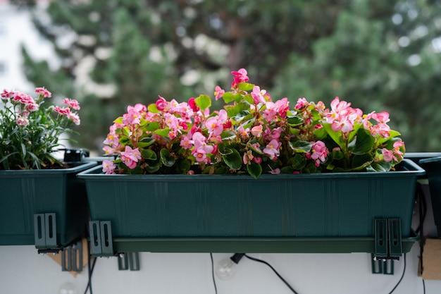 Perto de flores de begônia rosa brilhantes na varanda. jardinagem doméstica