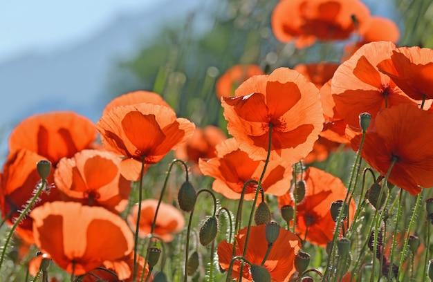 Perto de lindas flores de papoulas vermelhas florescendo em um prado