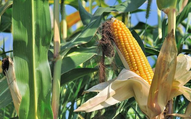 Perto de milho maduro, crescendo em um campo entre a folhagem