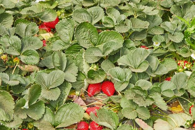 Perto de morangos orgânicos frescos, crescendo em uma videira.