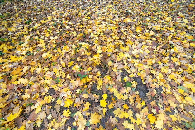 Perto de muitas folhas amarelas caídas cobrindo o solo no outono park.
