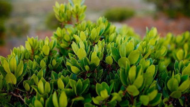Perto de plantas verdes na ilha da córsega, frança, montanhas de fundo de paisagem. visualização horizontal.