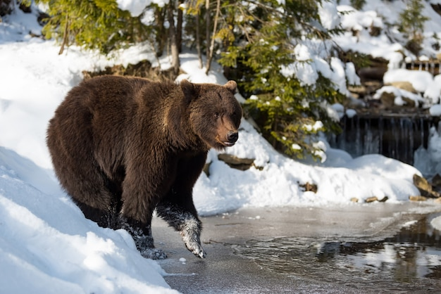 Perto de um grande urso marrom selvagem perto de um lago na floresta