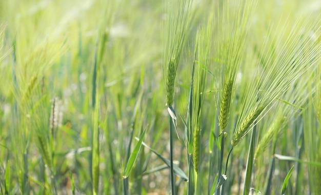 Perto de uma planta de cereal verde crescendo em um campo ensolarado