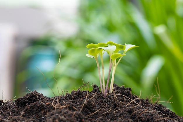 Perto do crescimento do broto de couve no solo.