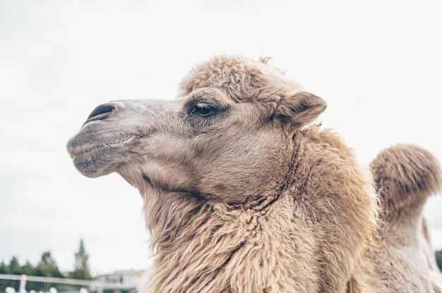 Perto do engraçado camelo bactriano no zoológico da carélia. camelo peludo com casaco de inverno longo de pelo marrom claro