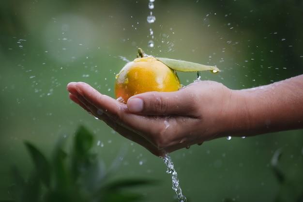 Perto do jardineiro segurando e lavando laranjas na mão com gota de água e respingos de água no jardim do campo de laranjas na parte da manhã.