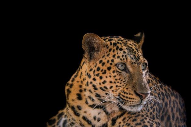 Perto do leopardo isolado no fundo preto.