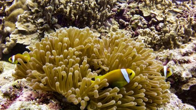 Perto do peixe anêmona negra nas maldivas.