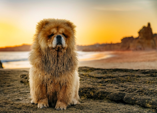 Perto do retrato do chow chow ao pôr do sol na praia no algarve, portugal