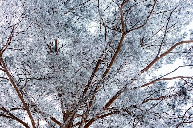 Perto do topo de uma árvore coberta de neve sob uma queda de neve em um fundo de um céu branco de inverno
