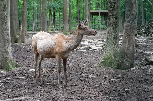 Perto está um cervo com olhos âmbar. o cervo é uma família de mamíferos artiodáctilos. animais selvagens e natureza veado