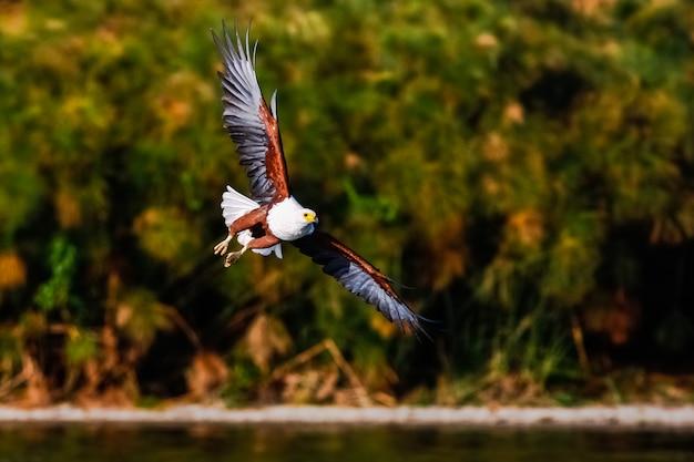 Pescador de águia voando acima do lago. naivasha, quênia