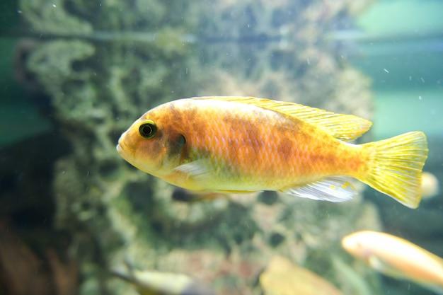 Pesque no aquário. lindo peixe decorativo na água.