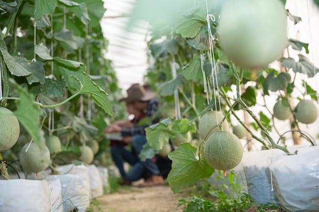 Pesquisador agrícola com o tablet lentamente inspeciona plantas.