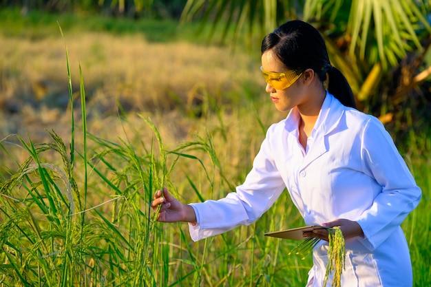 Pesquisador de mulheres asiáticas está monitorando a qualidade do arroz na fazenda