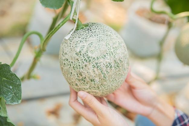 Pesquisadores de plantas estão investigando o crescimento do melão.