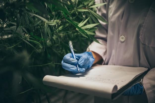 Pesquisadores profissionais que trabalham em um campo de cânhamo, estão verificando plantas, medicina alternativa e conceito de cannabis