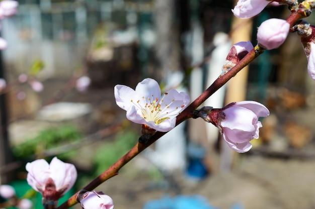 Pêssego florescendo. o ramo de árvores de fruto com flores cor de rosa. foco seletivo.