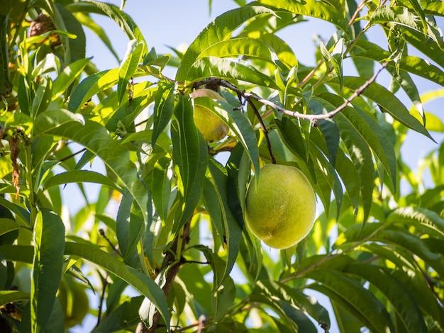 Pêssego verde fresco pendurado em um pessegueiro com folhas verdes