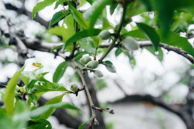 Pêssegos verdes fecham em uma árvore.