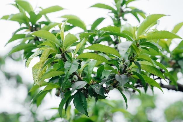 Pêssegos verdes perto de uma árvore