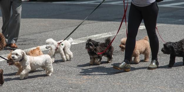 Pessoa caminhando, com, cachorros, rua, manhattan, cidade nova iorque, estado nova iorque, eua