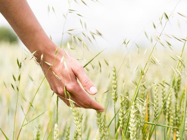 Pessoa tocando o trigo com a mão