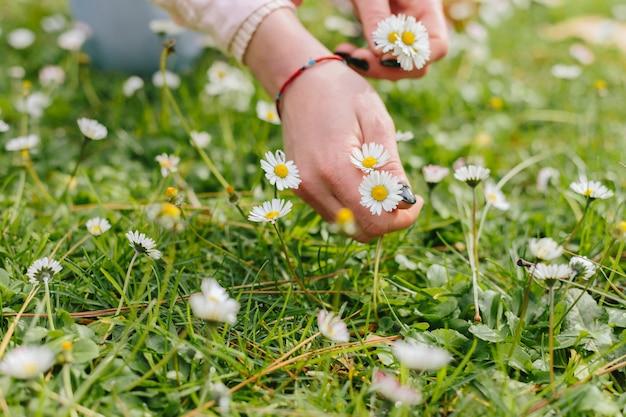 Pessoas, colheita, camomiles, flor