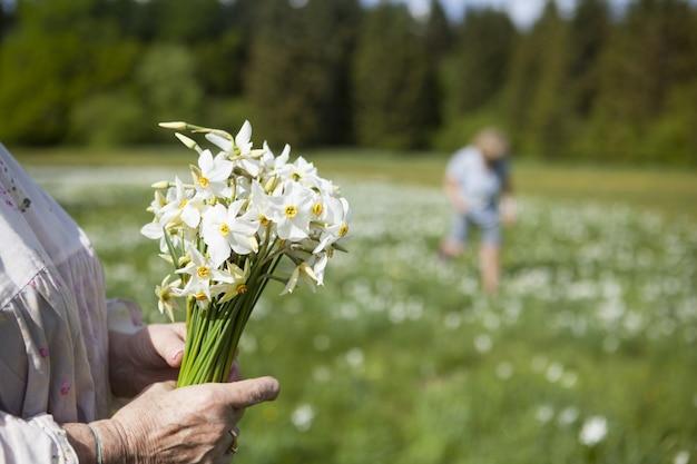 Pessoas colhendo flores de narciso na primavera em cauvery, frança