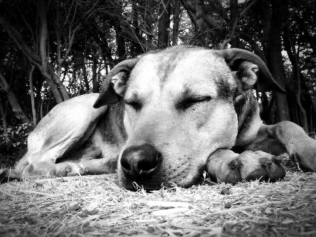 Pet cochilos sono resto cão dormir sesta animais