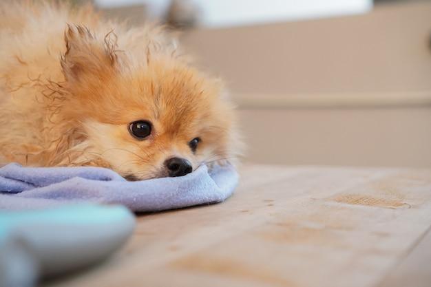 Pet shower, pomeranian ou raça de cachorro pequeno senta-se em uma mesa de madeira e seque os pêlos do cão com pano absorvente azul