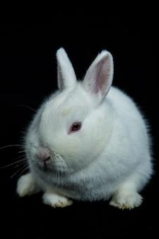 Pet vienna coelho branco com albinismo