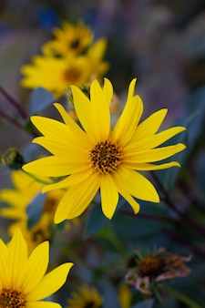 Pétala amarela da bela flor amarela ou fundo de flor do sol para web design e comerciante ou empresa, feche o grande carpelo da flor do sol na natureza