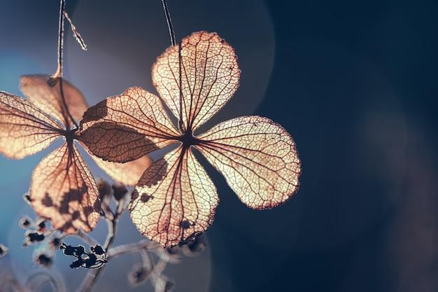 Pétala de flor hortênsia seca