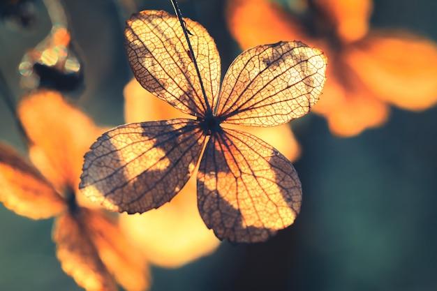 Pétala de hortênsia seca flor com fundo de natureza