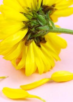 Pétalas caídas de uma flor hrizantema. conceito de envelhecimento humano. cosméticos ecológicos naturais. diferentes mudanças na vida de uma pessoa.