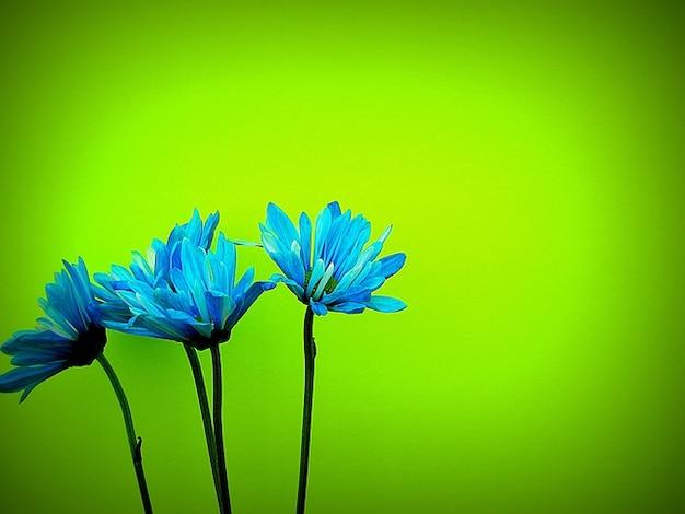 Pétalas da flor daisys flor colorida