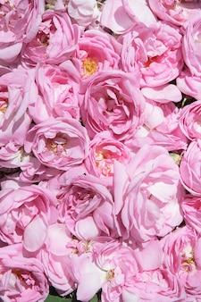 Pétalas de chá de rosa. produção de óleo de rosa. cultivo industrial de óleo de rosa e produção de óleo de rosa na bulgária