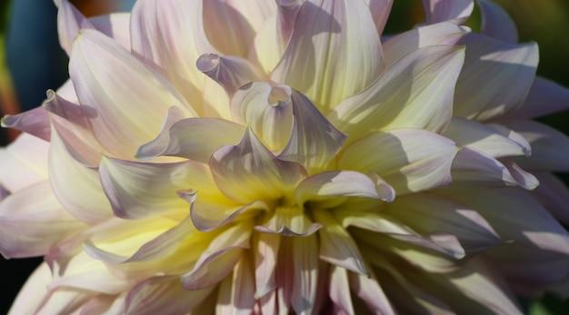 Pétalas de dália frescas brancas cremosas à luz do sol para um fundo natural